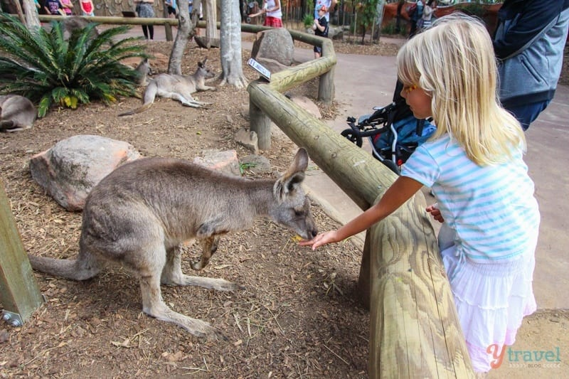 Feed a Kangaroo - Dreamworld, Gold Coast, Australia