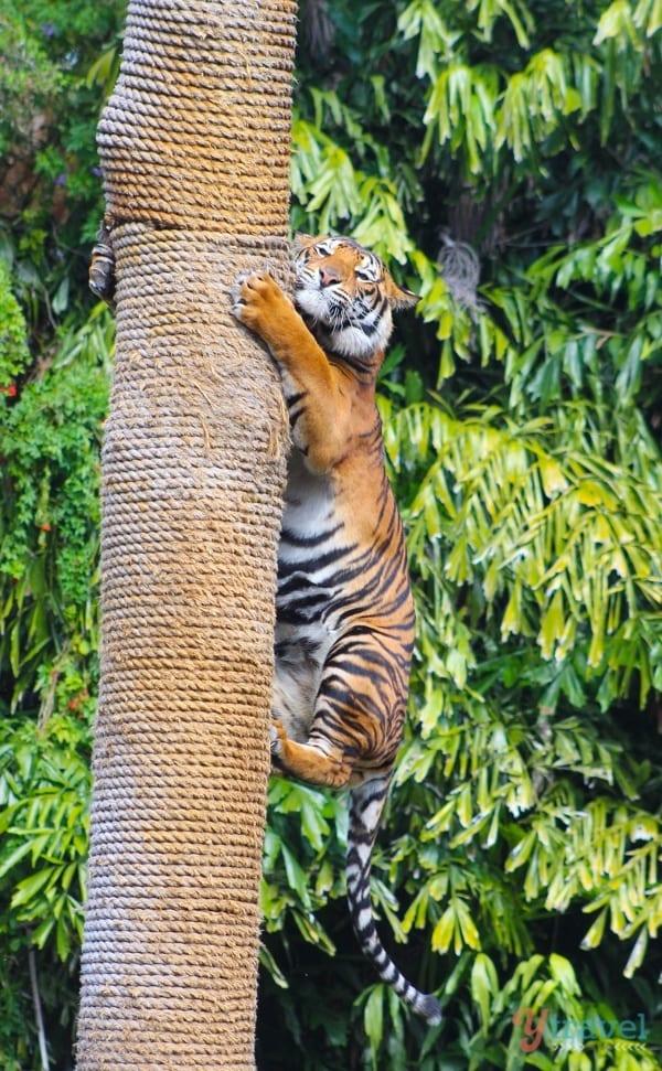 See a Tiger - Dreamworld, Gold Coast, Australia