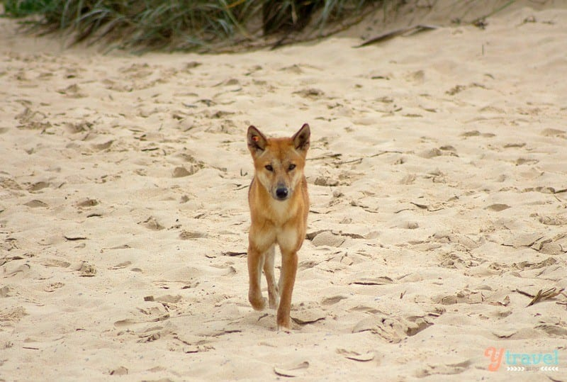 Dingo on Fraser Island, Australia