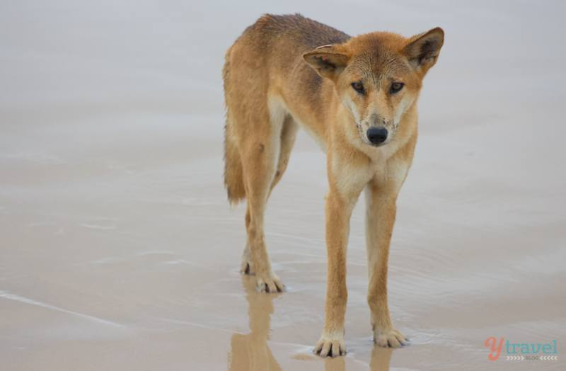 Dingo on Fraser Island, Queensland, Australia