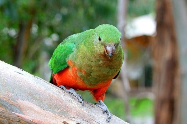 Wild King Parrot - Kennett River, Great Ocean Road, Australia