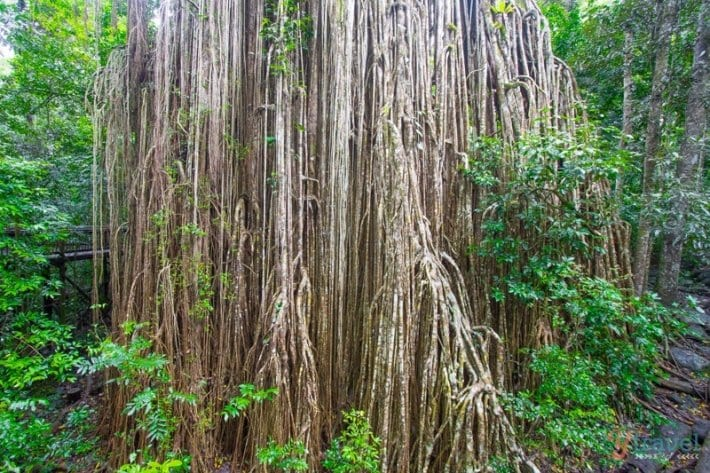 Curtain Figg Tree, Atherton Tablelands, Queensland, Australia