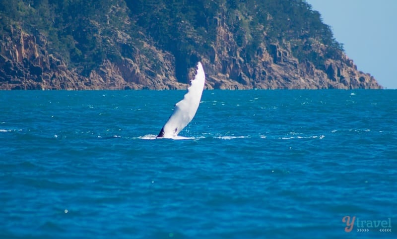 Humpback whale waving hello in the Whitsundays