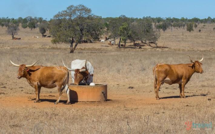 Texas Longhorns Wagon Tours in Australia