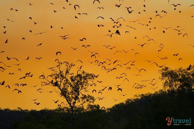 Katherine Gorge fruit bats at sunset