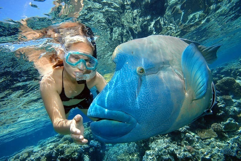 "Meet ""Wally"" the big Maori Wrasse we met on the Great Barrier Reef"