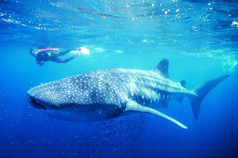 Swim with the Whale Sharks, Ningaloo Reef, Exmouth, Western Australia