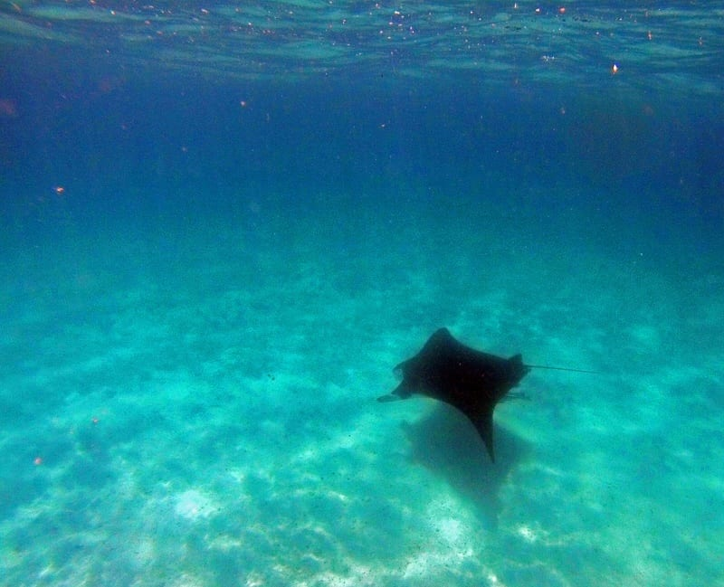 Swimming with Manta Rays in Ningaloo Reef, Western Australia