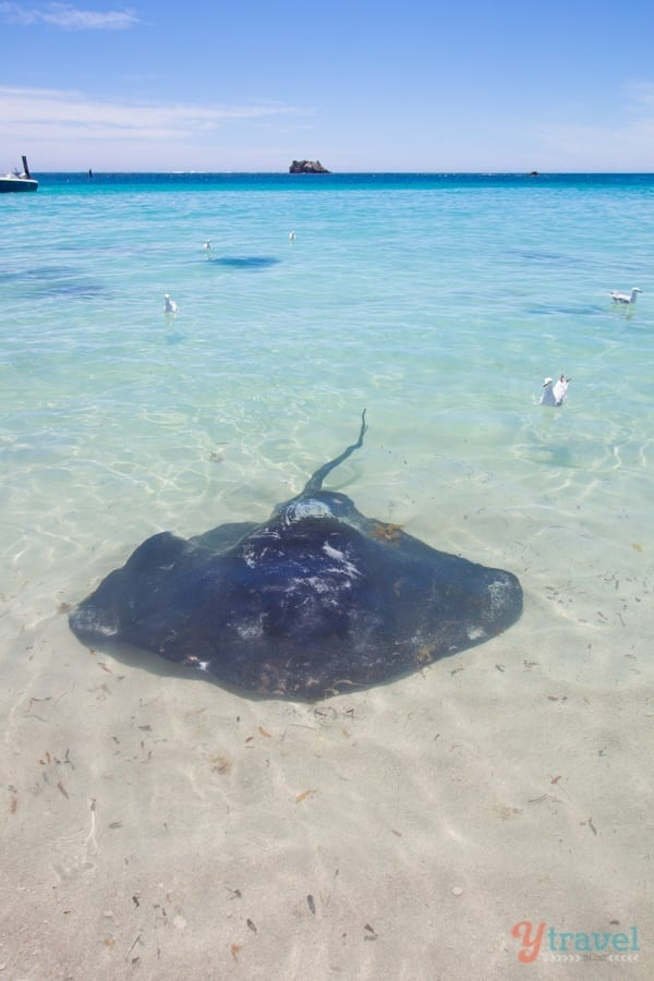 Stingray at Hamlin Bay, Margaret River Region, Western Australia