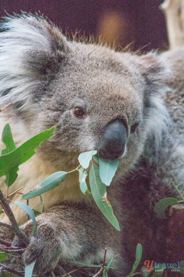 Meet the cute koalas at Cleland Wildlife Park, Adelaide Hills, South Australia