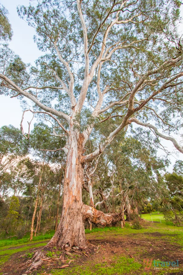 Gum tree in the Barossa Valley, South Australia