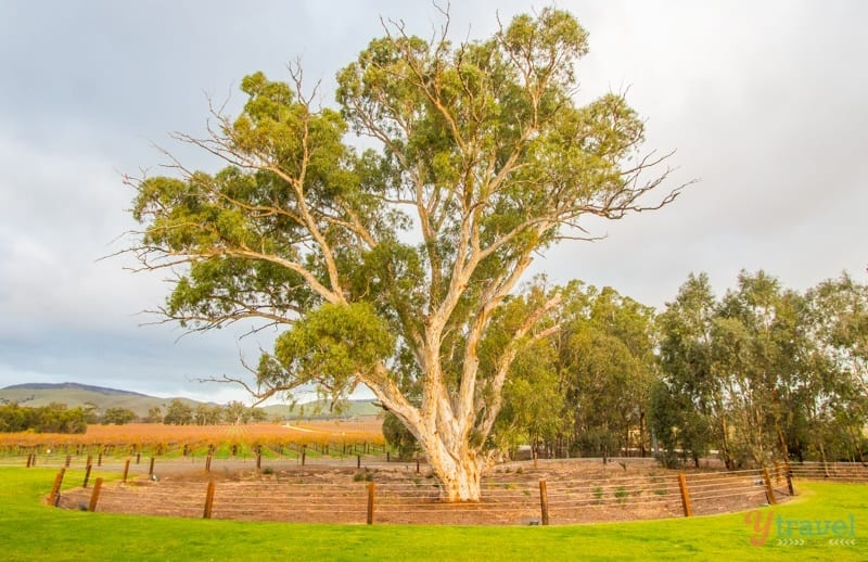 Beautiful gum trees in the Barossa Valley, South Australia