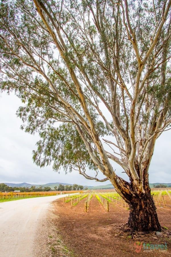 Jacob's Creek Winery, Barossa Valley, South Australia