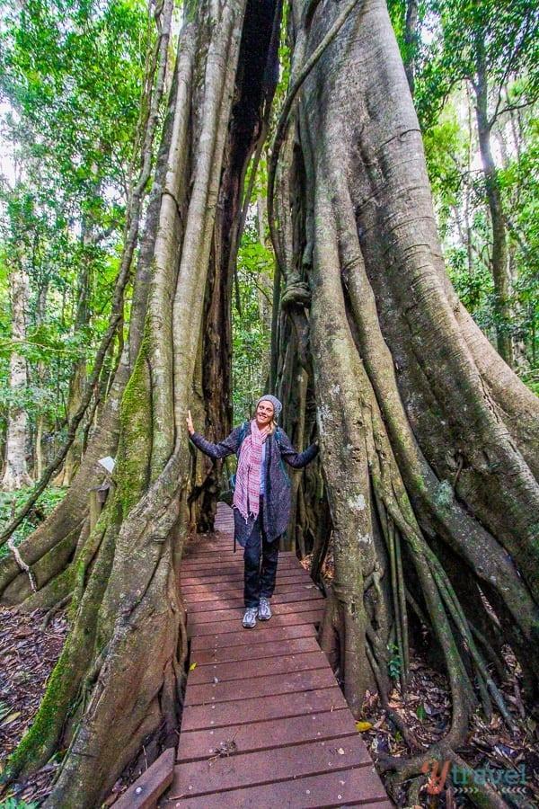 Giant strangler fig tree in The Bunya Mountains, Queensland, Australia