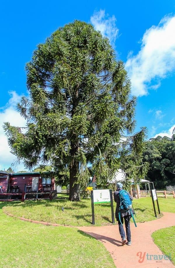 Bunya Pine Tree, Queensland, Australia
