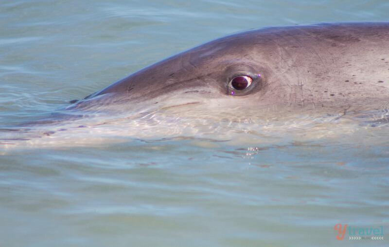 See wild dolphins in Bunbury, Western Australia