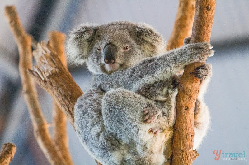 Koala at Billabong Wildlife Park, Port Macquarie, NSW, Australia