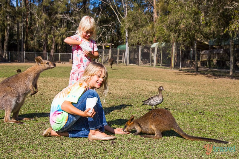 Feeding kangaroos in Port Macquarie, NSW, Australia
