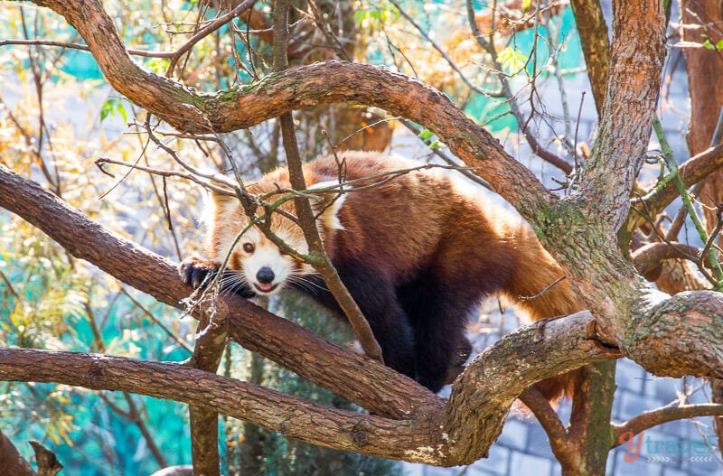 Red Panda at Billabong Wildlife Park in Port Macquarie, NSW, Australia