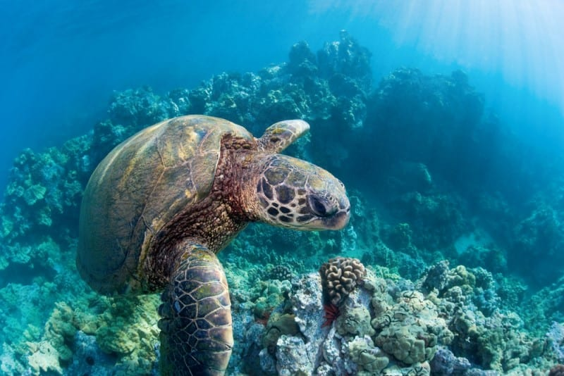 Snorkelling turtle Maui Hawaii