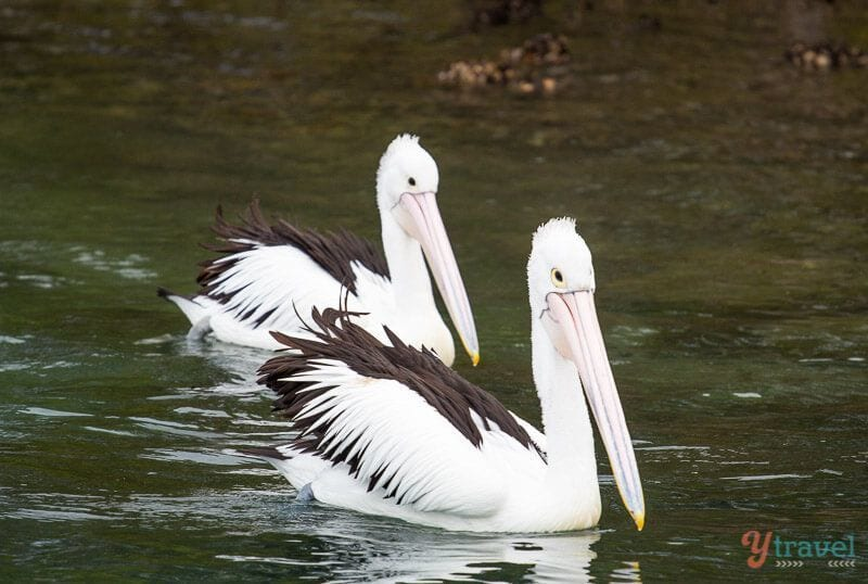 Pelicans on Camden Haven River, NSW, Australia
