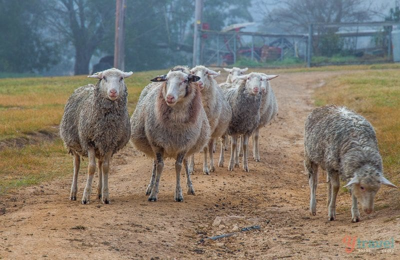 Sheep at Ewetopia Farm Stay, Port Macquarie, NSW, Australia