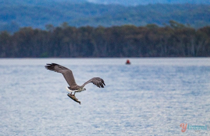 Sea Eagle in Camden Havem, NSW