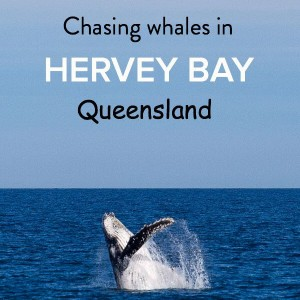 Find out why Hervey Bay is the whale watching capital of Australia