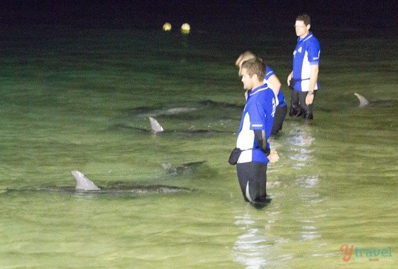 Dolphin feeding at Tangalooma Island Resort, Moreton Island, Queensland, Australia