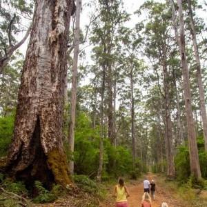 Karri forest in Pemberton, Western Australia