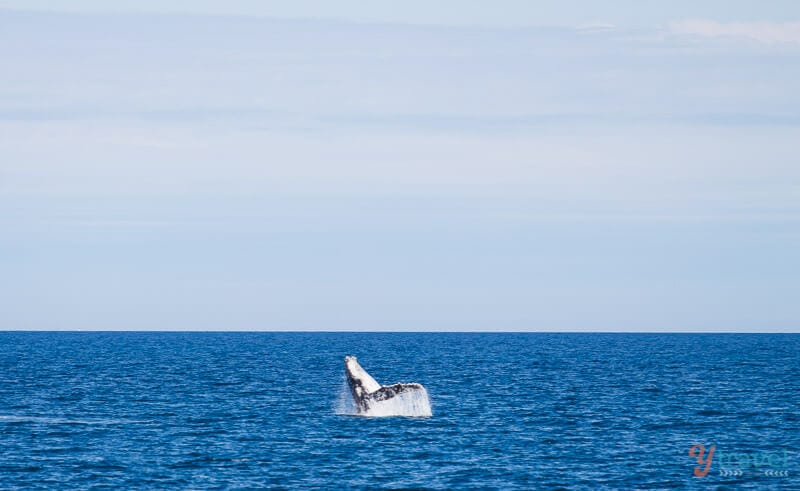 Whale watching in Hervey Bay, Queensland, Australia