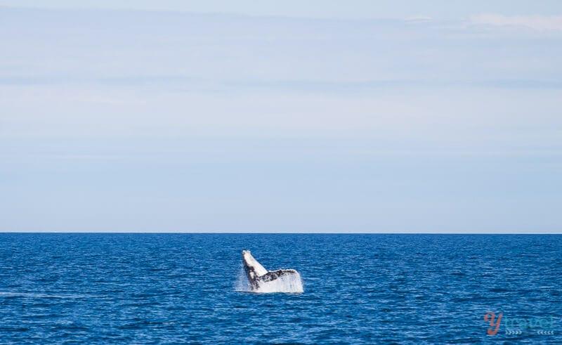 Observation des baleines dans la baie d'Hervey, Queensland, Australie