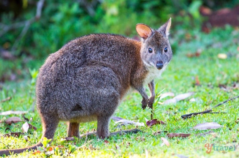 Pademellon at Binna Burra in Lamington National Park, Gold Coast Hinterland, Queensland