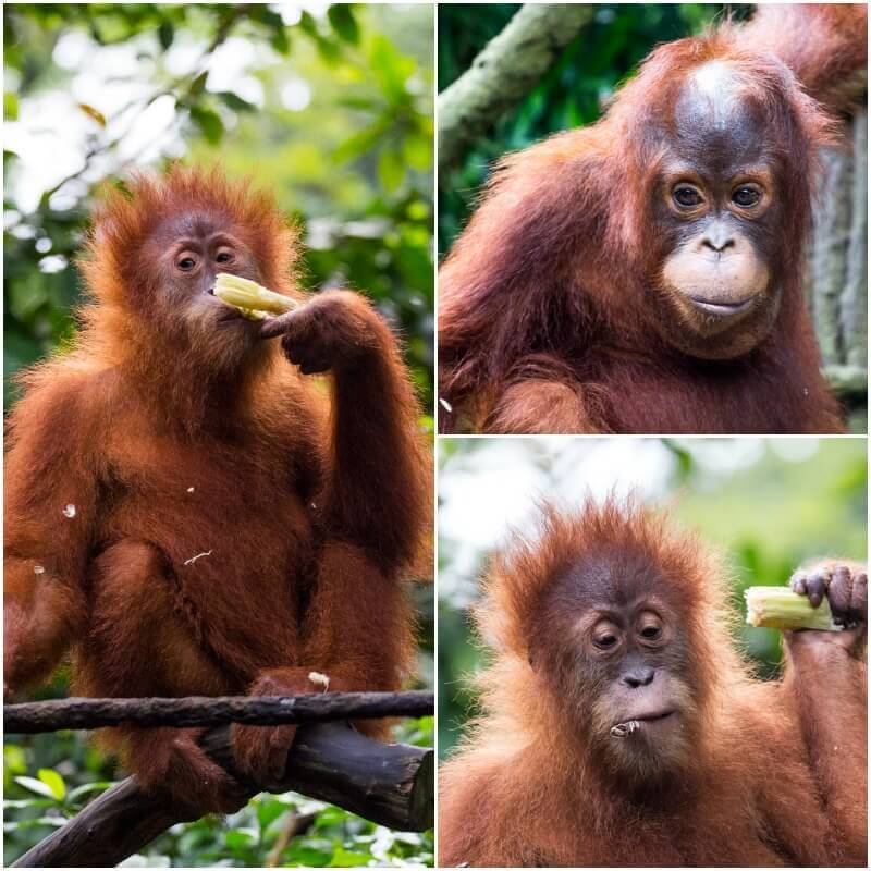 Breakfast with the Orangutans - S.E.A aquarium in Singapore - one of the best things to do in Singapore with kids!