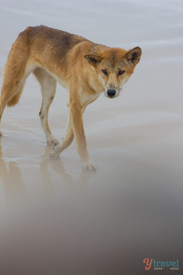 Dingo on Fraser Island in Queensland, Australia