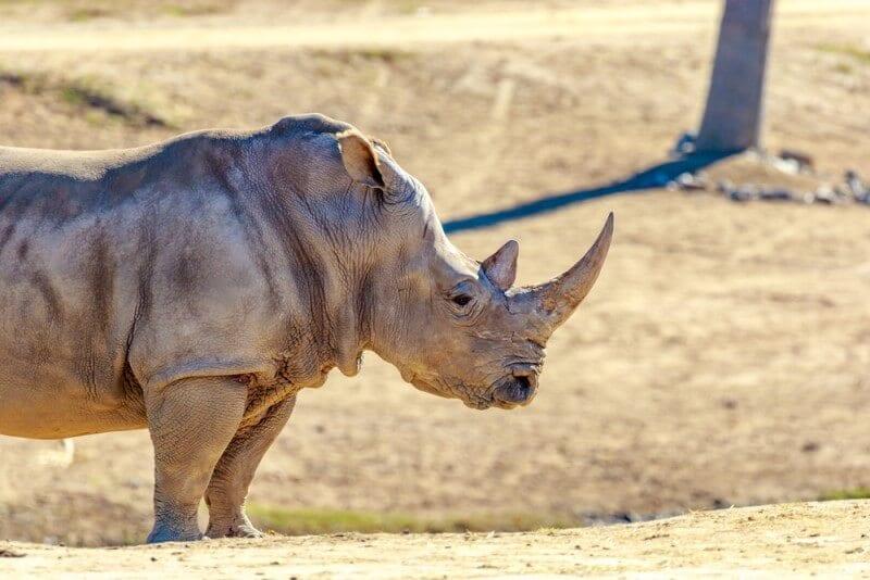 A Rhino at the San Diego Safari Park - things to do in San Diego, California