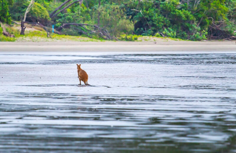 kangaroos on the beach Cape Hillsborough