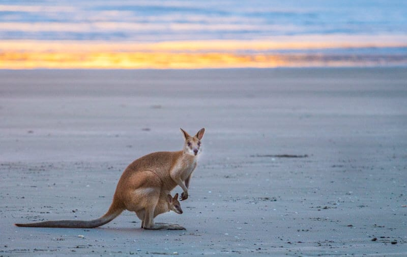 Kangaroos on the beach at Cape Hillsborough, Mackay, Queensland, Australia