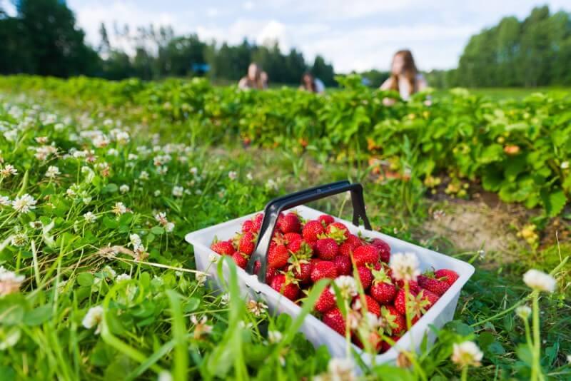 strawberry picking on the Sunshine Coast