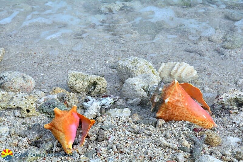 Dry Tortugas conch shells - Florida Keys