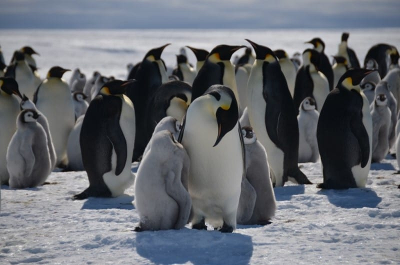 Emperor penguins and their chicks - Antarctica Expedition