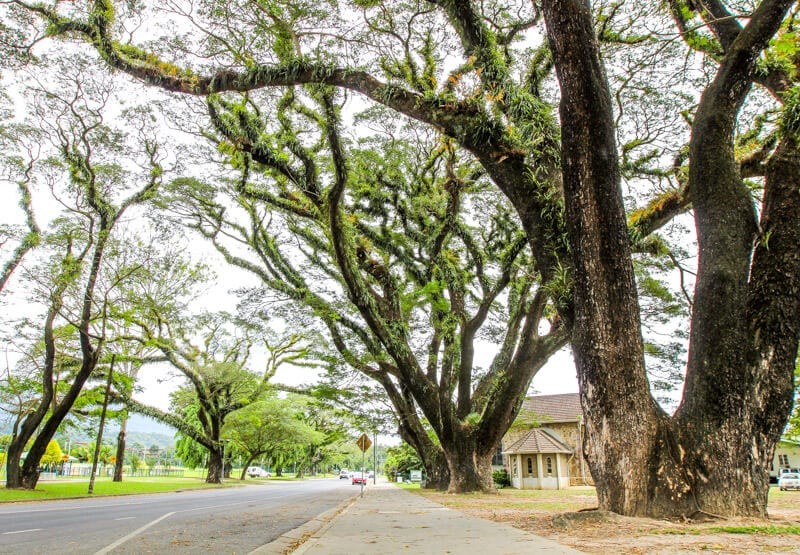 Beautiful trees in the town of Mossman, Queensland, Australia