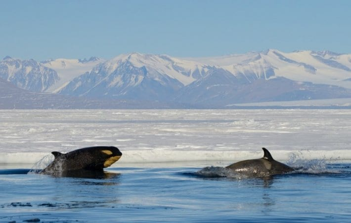 Orcas in the Ross Sea Antarctica