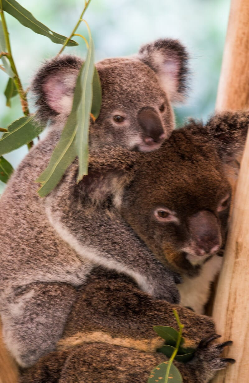 Get up close with the cute koalas at Hartley's Crocodile Adventures in Port Douglas, Queensland, Australia
