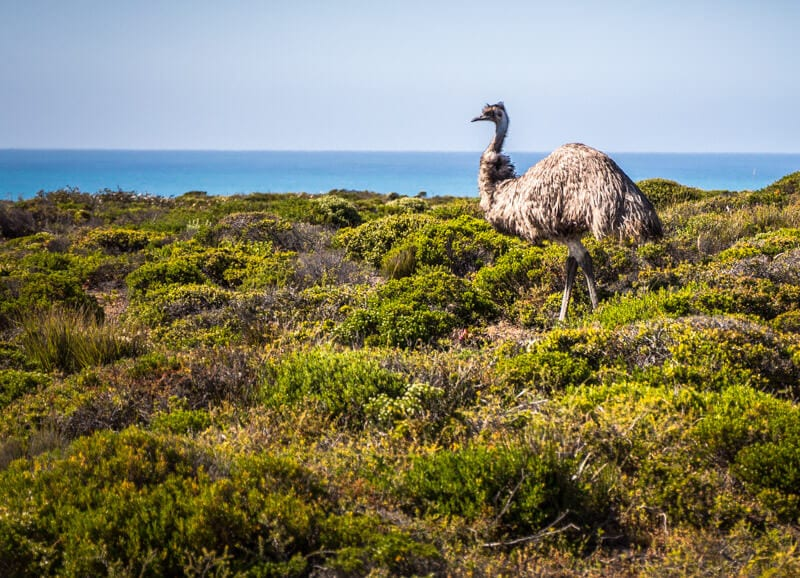 You will see many wild emus on your road trip with kids in South Australia. It's the most we've seen in Australia Click to read more tips on things to do on the Eyre Peninsula