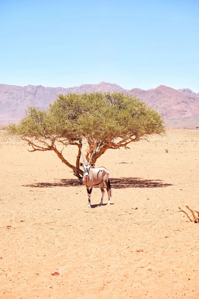 Oryx in the Namib Desert, Namibia, Africa