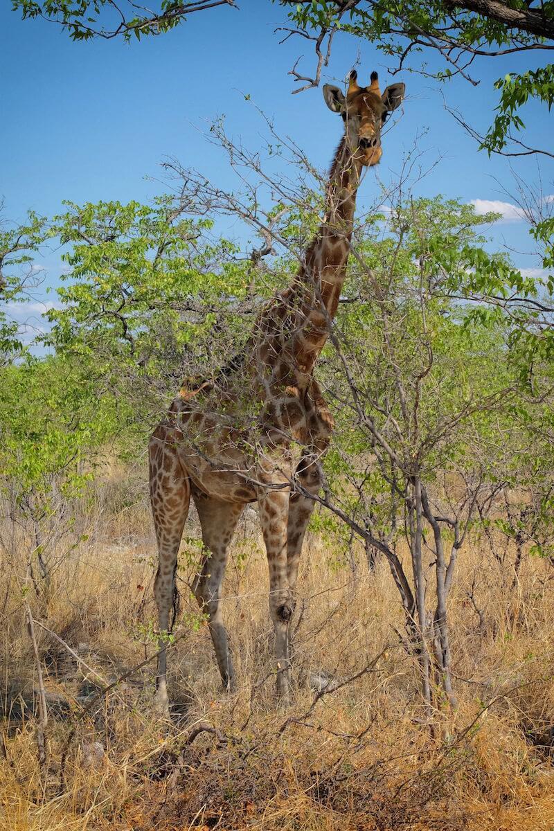 Giraffe in Etosha National Park, Namibia, Africa