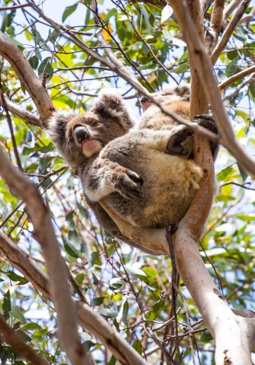 koala spotting on Kangaroo Island South Australia. Click to read more tips on things to do on Kangaroo Island