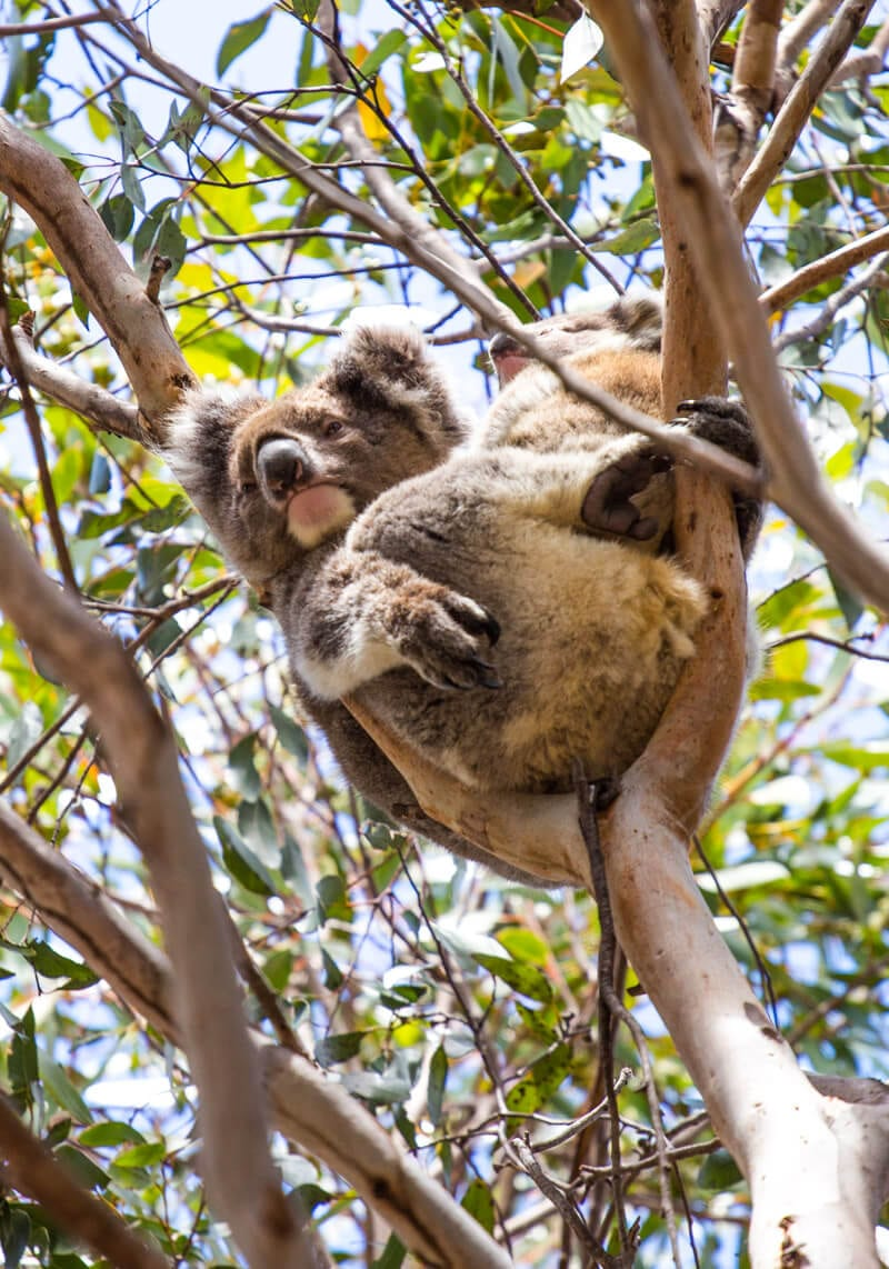 koala spotting on Kangaroo Island South Australia. Click to read more tips on things to do on Kangaroo Island