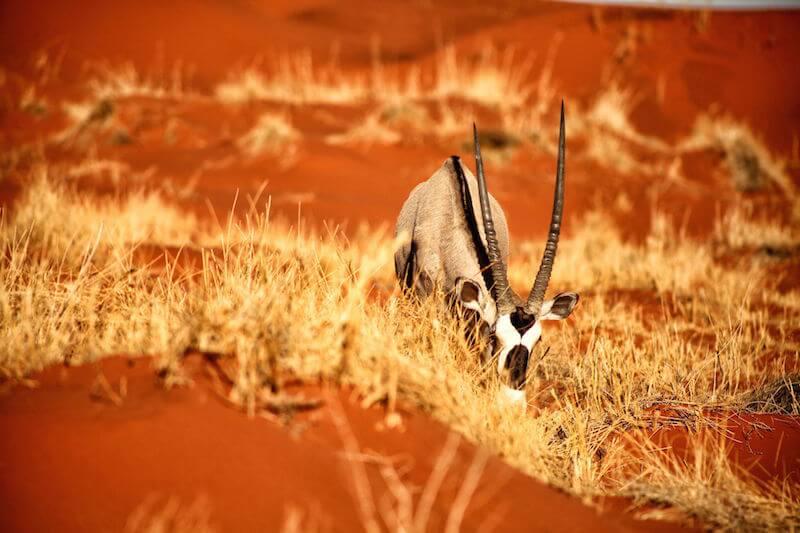 Oryx in Kalahari, Namibia